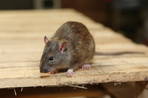 Rodent Control, Pest Control in Hammersmith, W6. Call Now 020 8166 9746