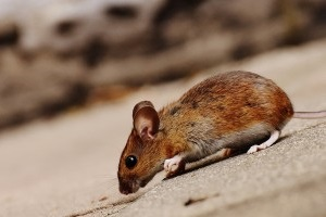 Mice Exterminator, Pest Control in Hammersmith, W6. Call Now 020 8166 9746