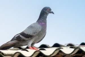 Pigeon Pest, Pest Control in Hammersmith, W6. Call Now 020 8166 9746